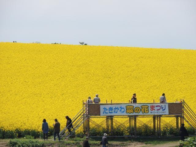 【中止】たきかわ菜の花まつり