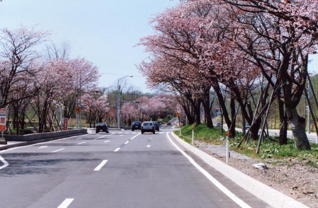 登別の桜並木