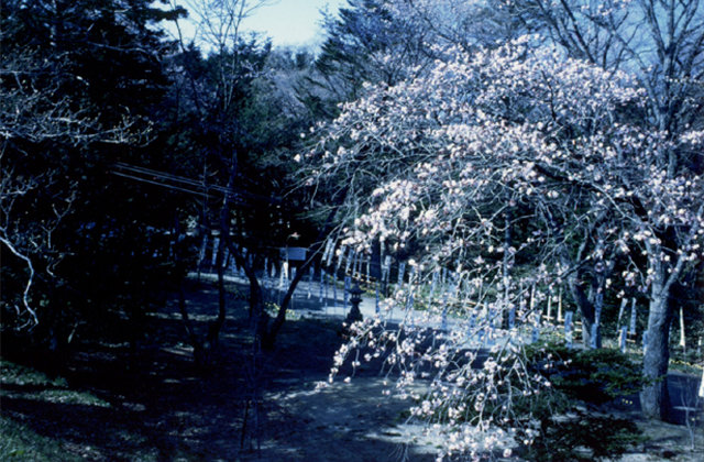 義経公園の桜