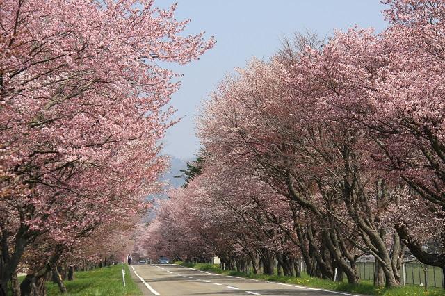 優駿の里浦河桜まつり | 全国観...