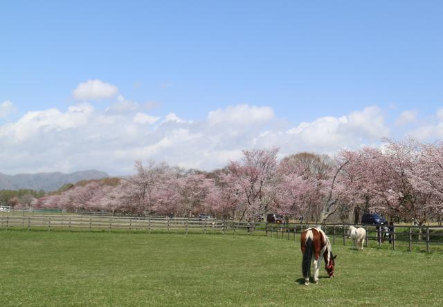 【2021年開催中止】優駿の里浦河桜まつり
