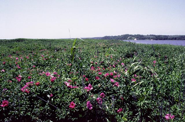 大津海岸長節湖畔野生植物群落
