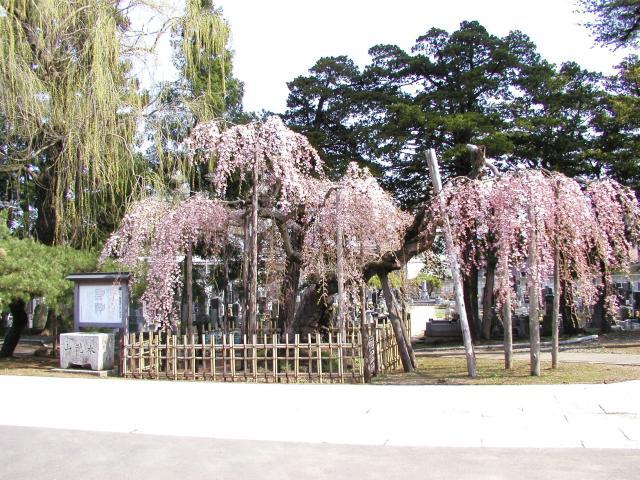 西光寺のシダレザクラ