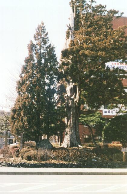 姥杉(奥州市役所本庁)