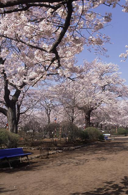 水沢公園のヒガン系桜群