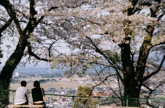 お物見公園の桜