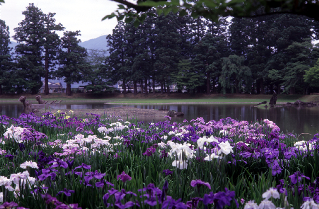 毛越寺の花菖蒲