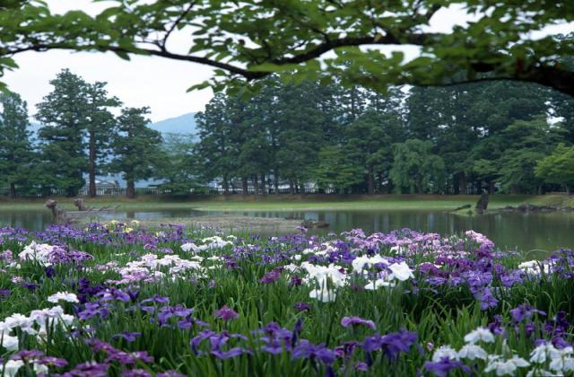 Motsu Temple Iris Festival★03402ba2212060868