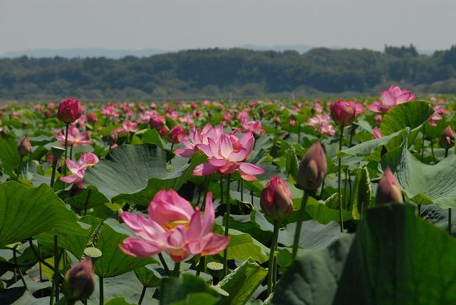 Izunuma, Uchinuma Lotus Festival★04522ba2210114112