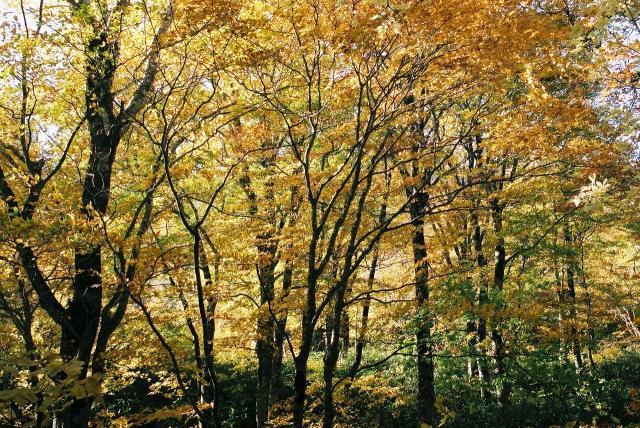 船形山のブナ・サワクルミ原生林