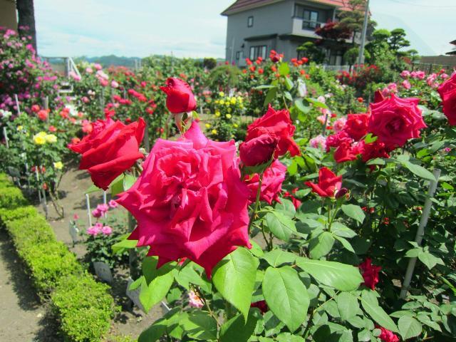 Odate Rose Festival Season 1★05204ba2210145331