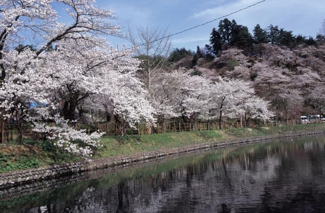 前森公園の桜