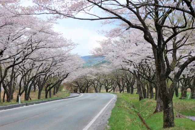 高野の桜並木