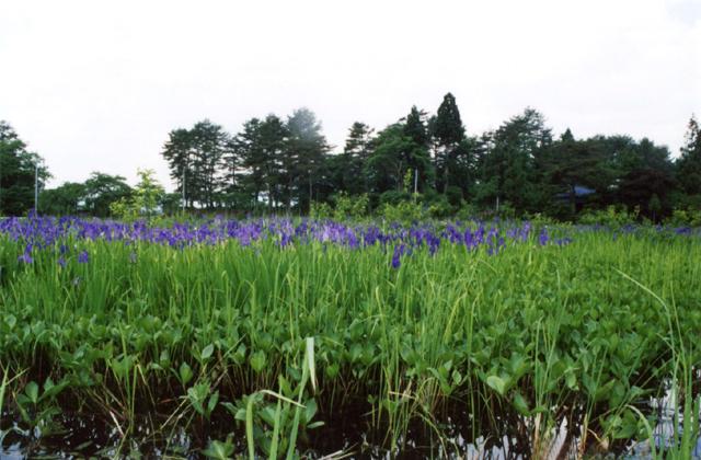 大沼公園カキツバタ