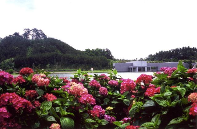 飯森山公園のアジサイ