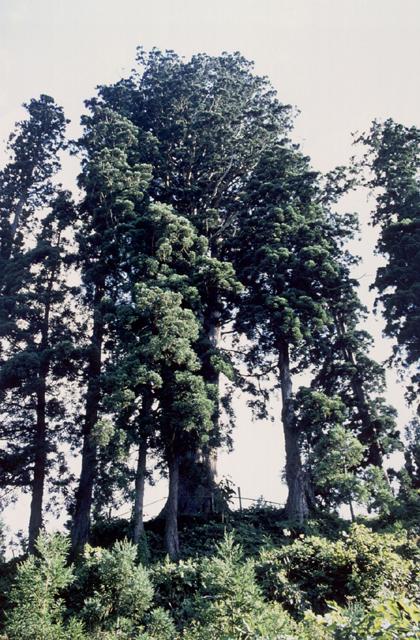 角川の大杉