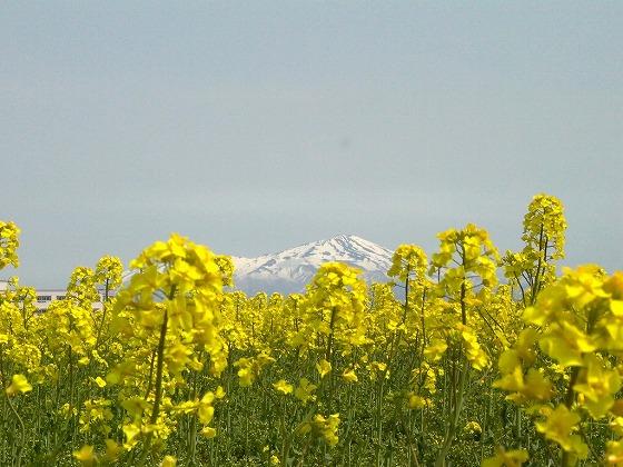 三川町菜の花まつり