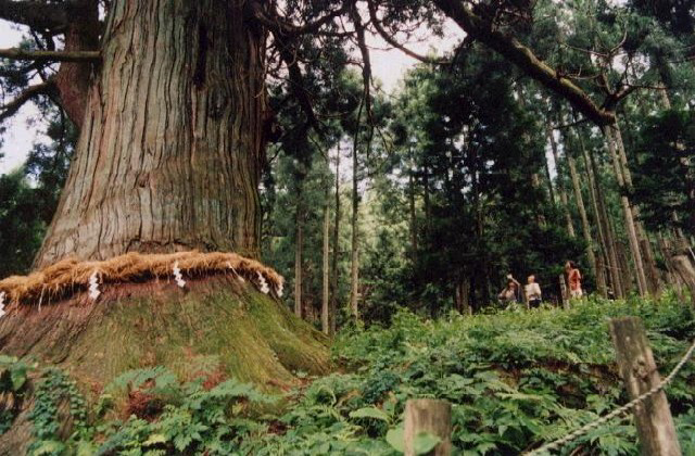 山五十川の玉杉