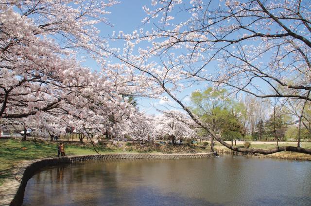 香久池公園の桜