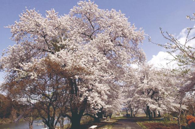 小和滝公園の桜