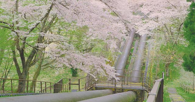 竹ノ内発電桜