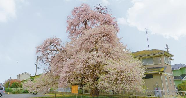 さいはら桜