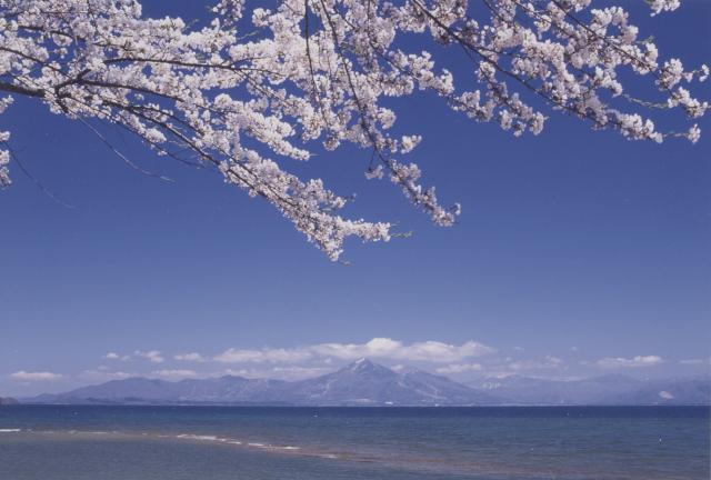 舟津公園の桜