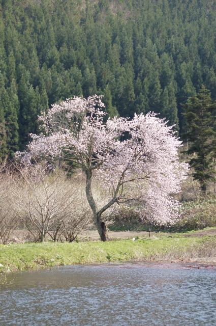 千手院の種蒔桜