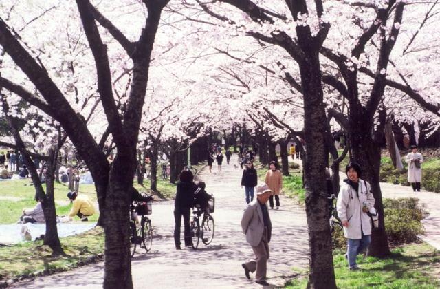 Sakura Festival★23361ba2210118639
