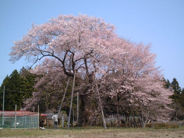 椎木の種蒔き桜