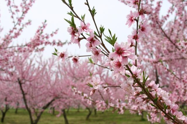伊達の桃畑