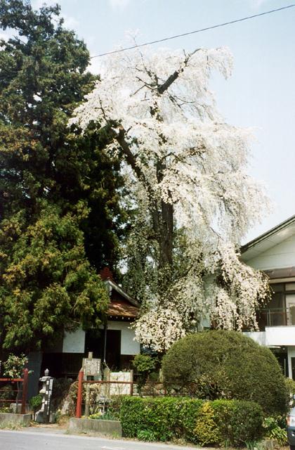 笠地蔵のしだれ桜