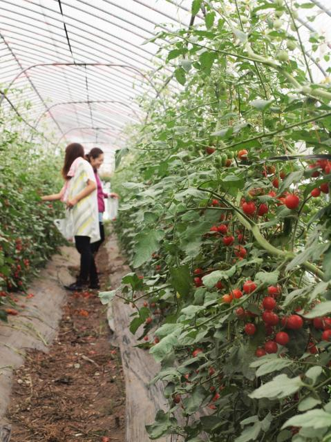 ミネラル野菜収穫体験