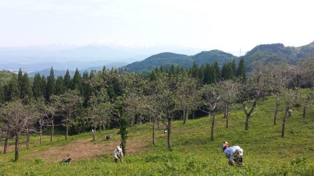 長桜観光ワラビ園