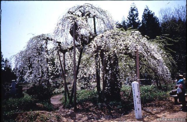 杉の糸桜(薬王寺境内)
