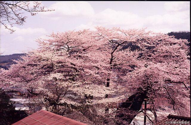 高田桜(エドヒガン桜)