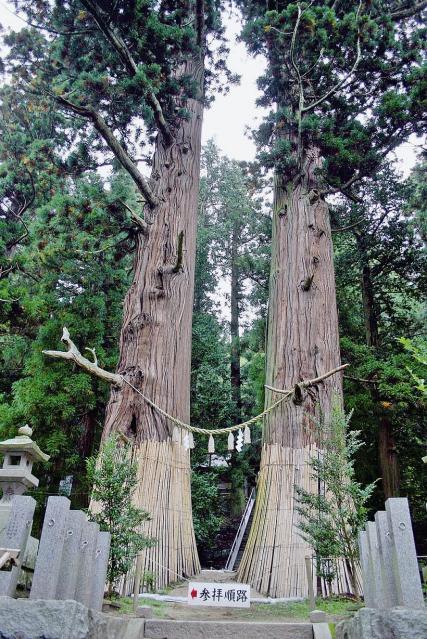 夏井諏訪神社の翁スギ媼スギ
