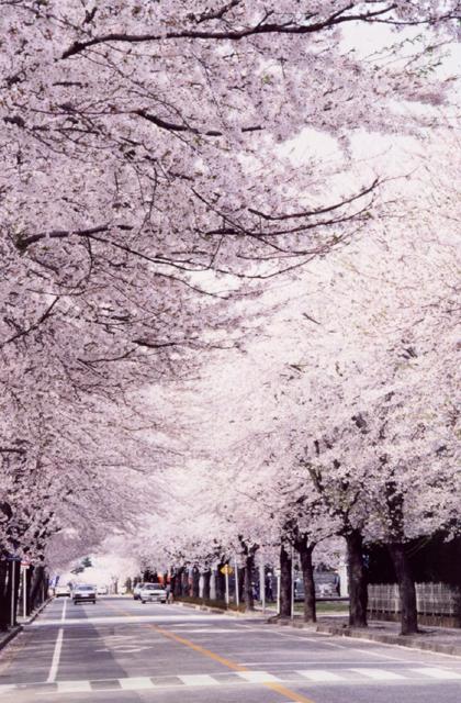 夜の森の桜並木