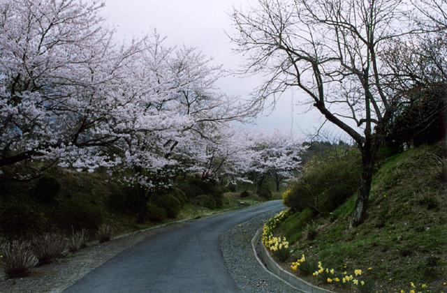 丈六公園の桜とツツジ