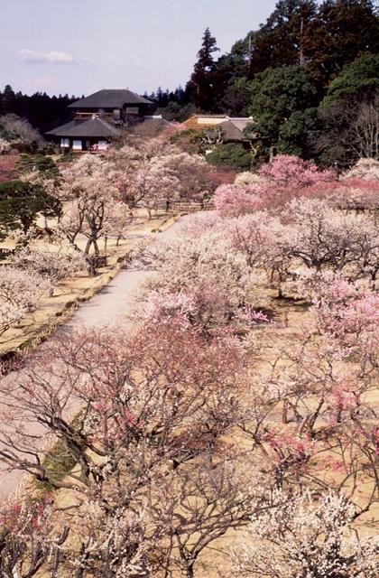 Kairakuen park's plum trees★08201ac2100126630