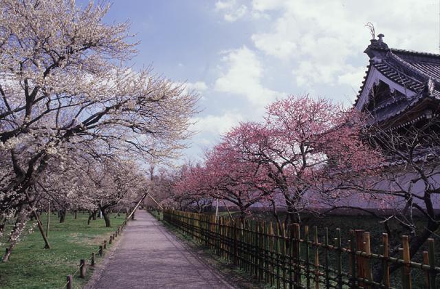弘道館公園的梅樹