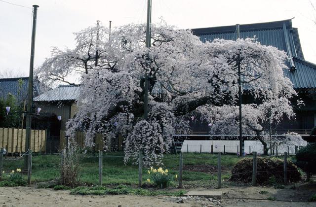 般若院の枝垂桜