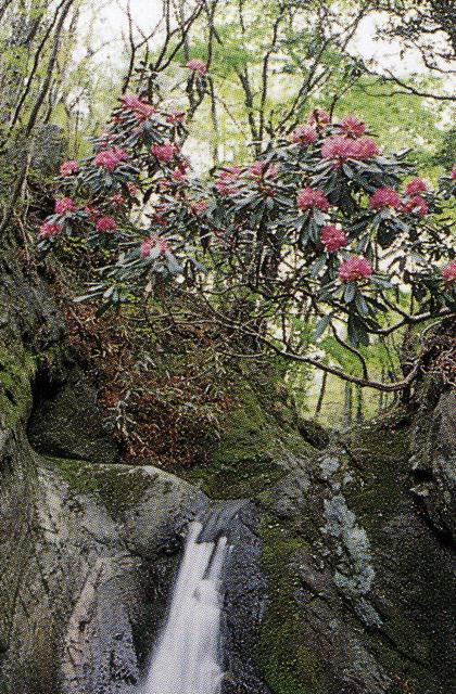 花園のシャクナゲ