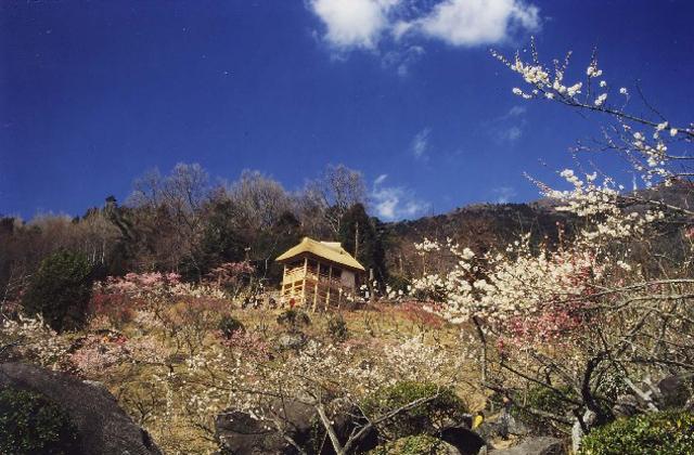 筑波山梅林の梅