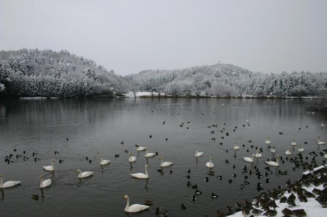 古徳沼の白鳥