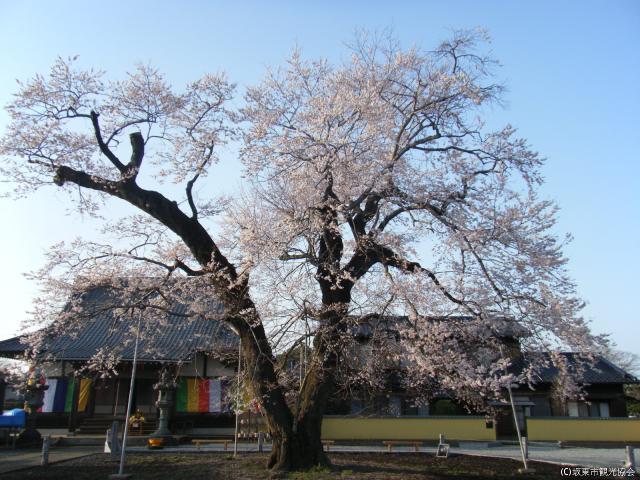 歓喜寺 江戸彼岸桜