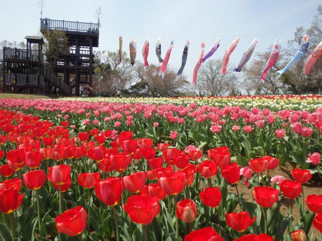 Middle of April tulip field