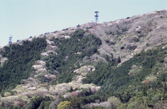 成沢の山桜