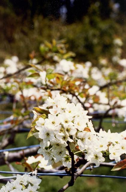梨の花(茨城県かすみがうら市)