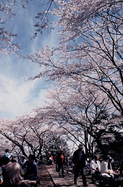 【開催中止】千手山公園さくら祭り